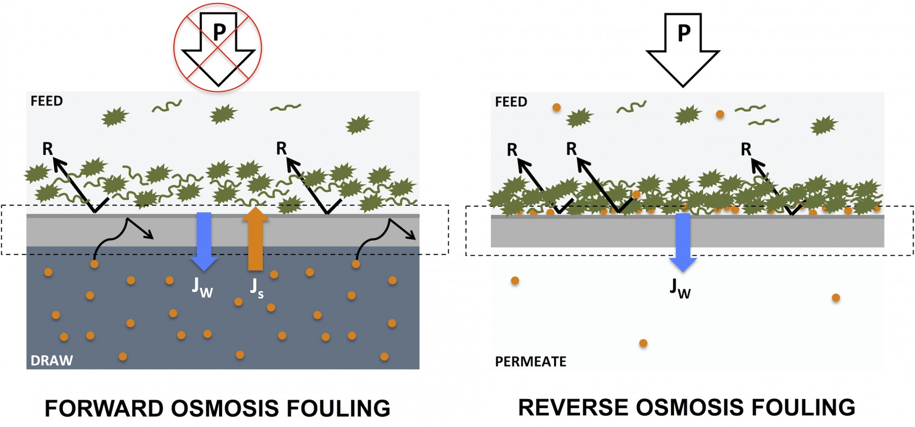 Membrane fouling in forward osmosis processes is reversible